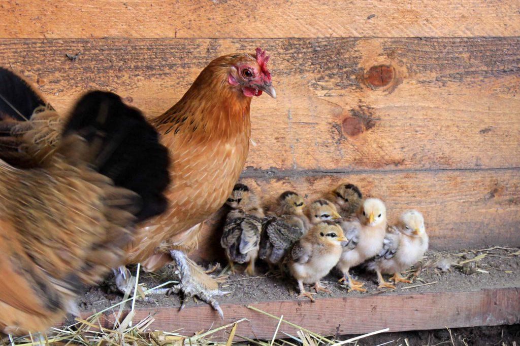 Kippen op de kinderboerderij