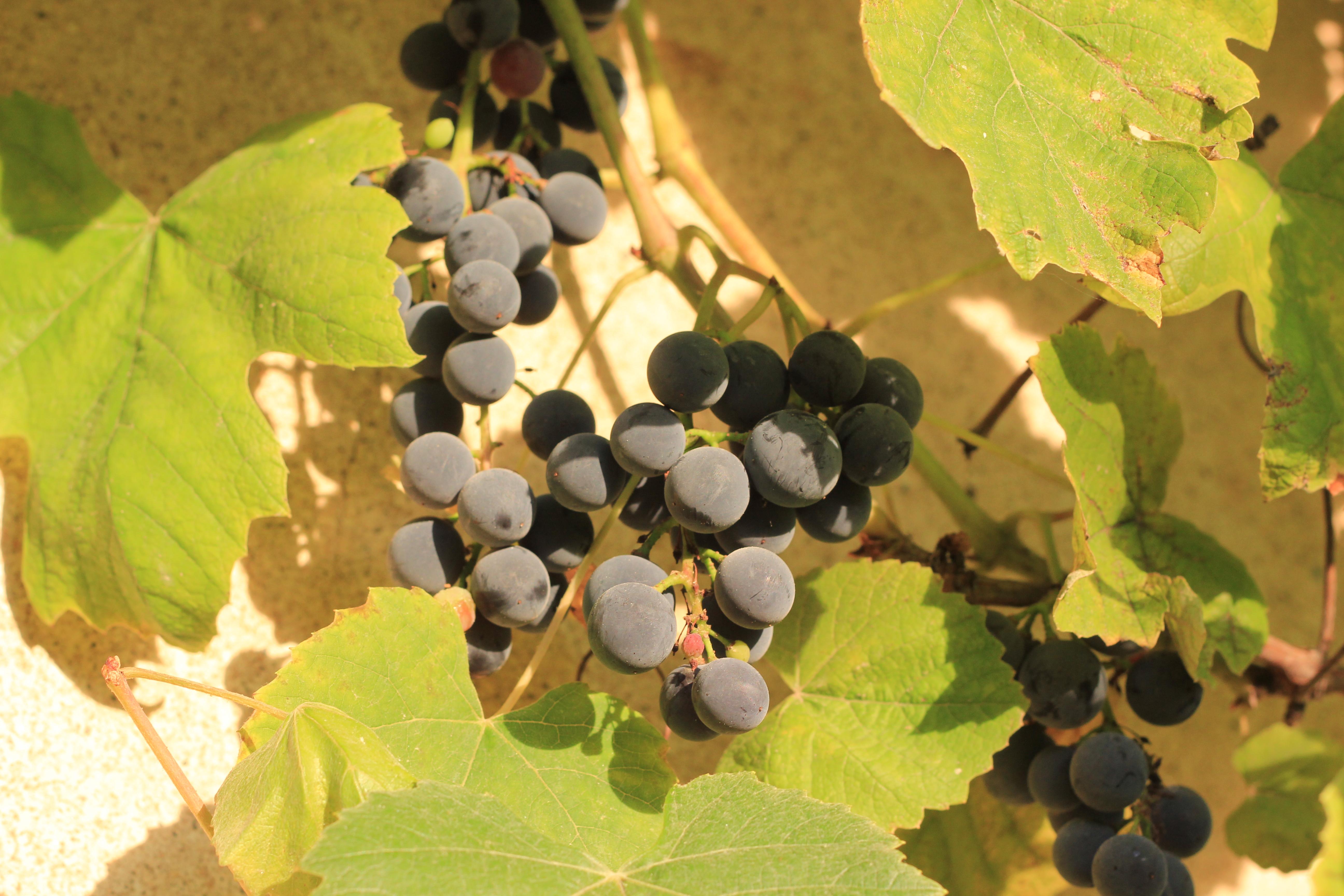 Druiven aan de wand