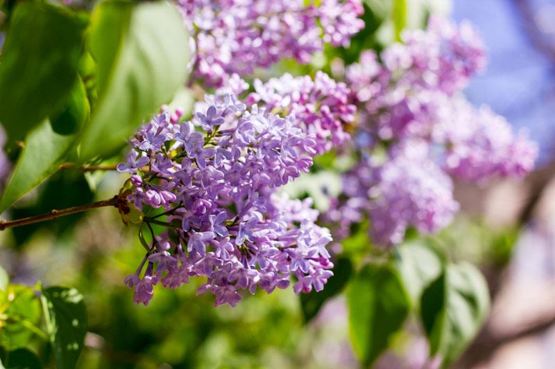 Domaine des Lilas lilas